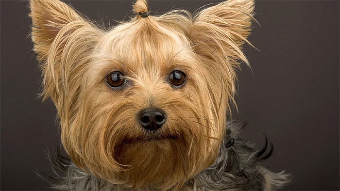 Yorkshire Terrier Yorkie